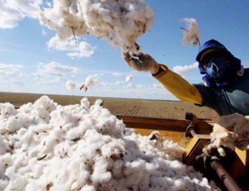 El ciclo de siembra de algodón en el valle del Cauca irá hasta el 10 de Abril