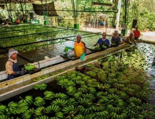 Recorte en presupuesto al agro afectaría lucha contra el peligroso hongo del banano